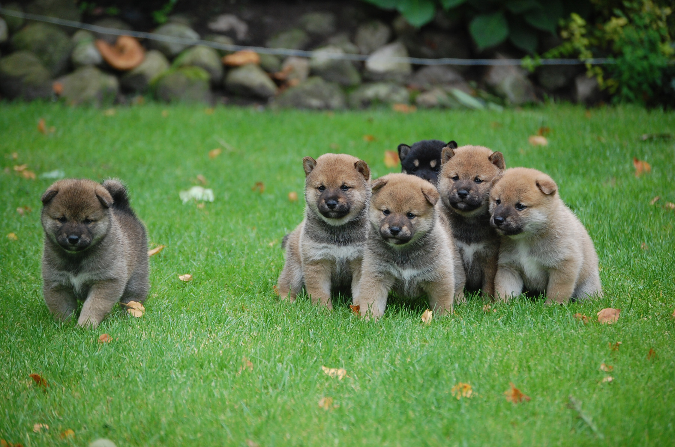 pups-8
