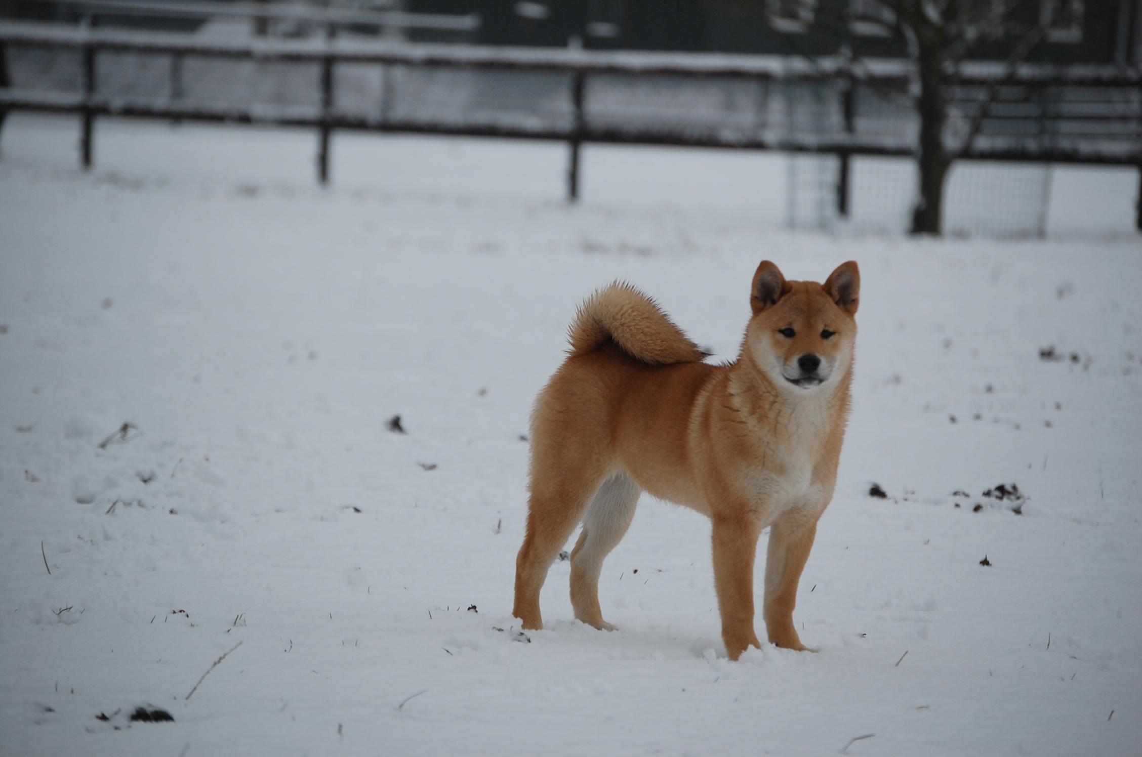 Sakura-sneeuw-5